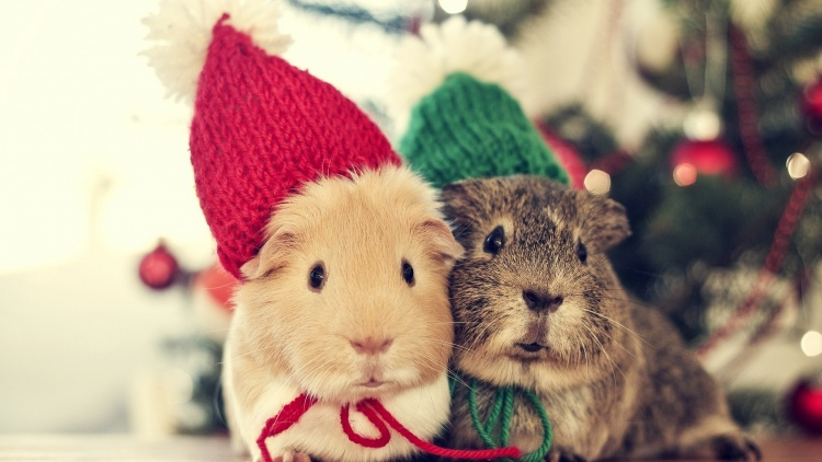 2-cute-guinea-pig-desktop-background